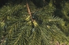 Scientists Dig Up All the Facts on Spruce DNA
