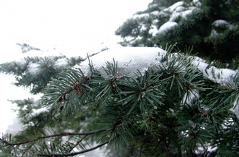 The Christmas tree and its genome have remained very much the same over the last 100 million years